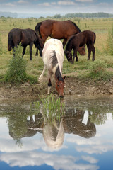 herd of horses on watering place