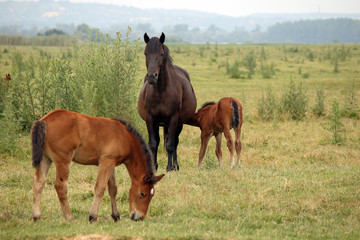 mare with foals on pasture