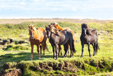 Fototapeta Horses in a green field of Iceland