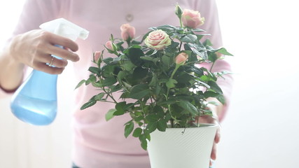 Young woman, watering pink rose at home