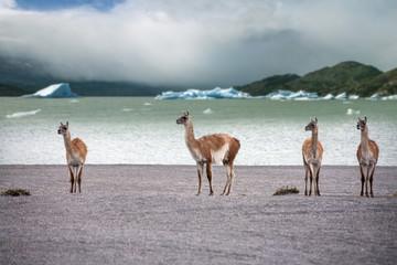 Guanaco - Lama guanicoe - Torres del Paine - Patagonia - Chile