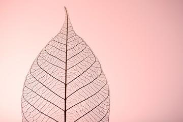 Skeleton leaf on pink background, close up
