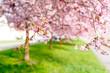 Obrazy na płótnie, fototapety, zdjęcia, fotoobrazy drukowane : Sakura flowers in the early misty morning