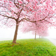 Sakura flowers in the early misty morning © science photo