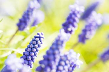 Hyacinth in spring time