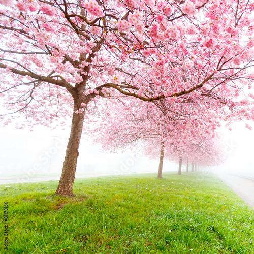 Aluminium Kersen Sakura flowers in the early misty morning