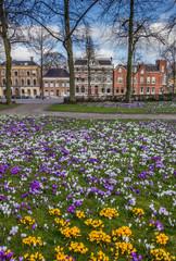 Colorful crocuses at the Ossenmarkt in Groningen