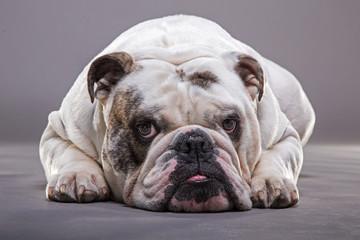 Bulldog inglese primo piano frontale