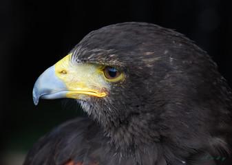 point beak