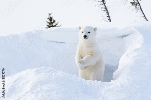 Fototapeten Eisbar Polar bear cub coming out den and standing up looking around.