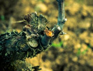 vigne en pleurs