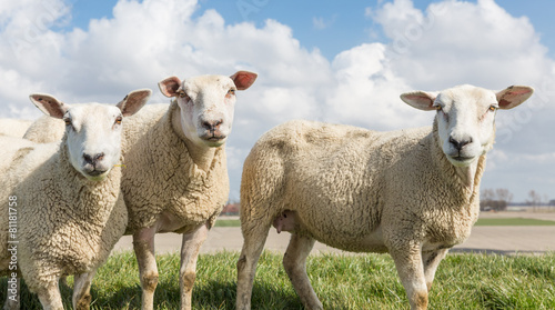 Fotobehang Schapen Sheep at sunny day in spring on top of a Dutch dike
