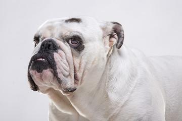 Bulldog inglese primo piano tre quarti