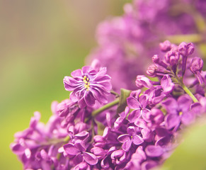 Branch of lilac flowers with the leaves, floral background, vint