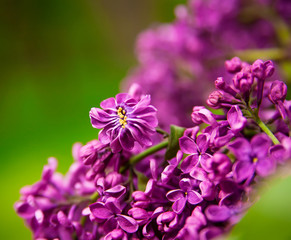 Branch of lilac flowers with the leaves, floral background