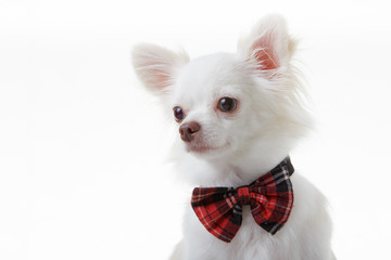 Chihuahua red bow
