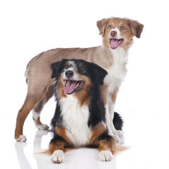 Zwei Australian Shepherd Hunde
