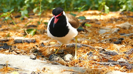 Red-wattled Lapwing hatching eggs in nest.