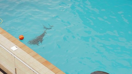 Dolphin swims in the pool and play ball.