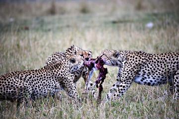 Cheetahs, fighting for a gazelle in the Masai Mara