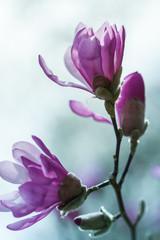 Flowering pink magnolia