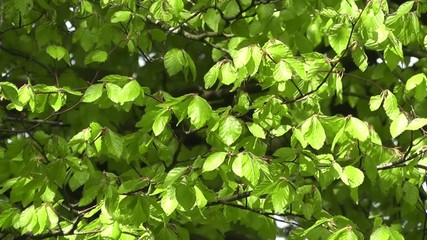 Fresh spring growth with tree leaves blowing in the wind