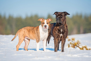 Two american staffordshire terrier dogs in winter