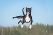 Funny amstaff dog with crazy eyes flying in the air