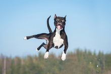 "Постер, картина, фотообои ""Funny amstaff dog with crazy eyes flying in the air"""