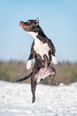 American staffordshire terrier dog playing with a ball in winter