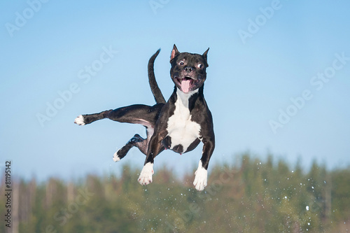 Funny amstaff dog with crazy eyes flying in the air Photo by Grigorita Ko