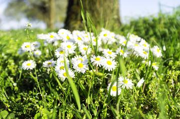 Closeup of a bush of wild daisies. Color image