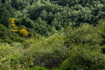 Rosas silvestres en bosque de robles