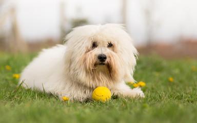 Coton de Tulear dog outdoor portrait