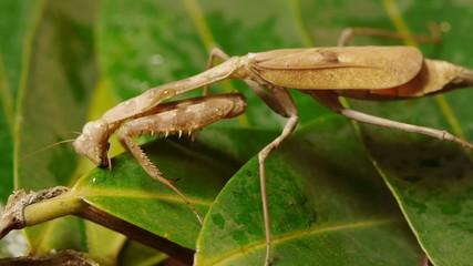 Mantis Drinking Water