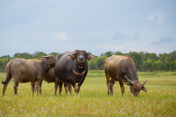 Water buffalo standing on green grass and looking to a camera.