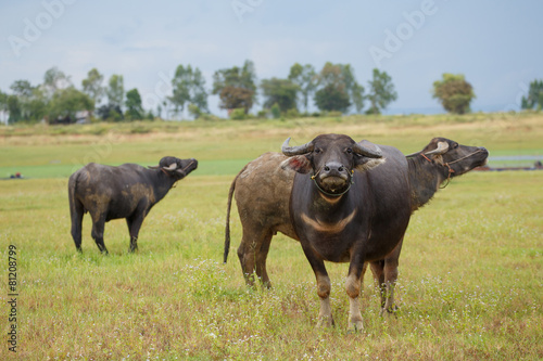 Aluminium Buffel Water buffalo standing on green grass and looking to a camera.