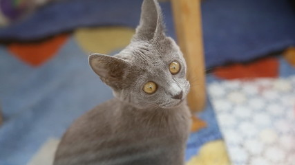 Gray british cat with bright yellow eyes looking at the camera