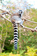 Lemur catta in Prague zoo. Ring tailed lemur on rope-ladder
