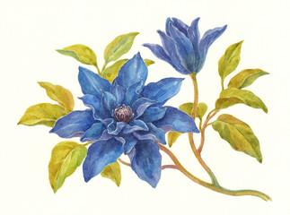 Акварель, цветы клематиса синие.