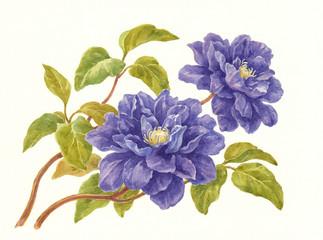 Акварель, цветы клематиса фиолетовые.