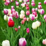 Fotoroleta Wunderschöne Tulpen