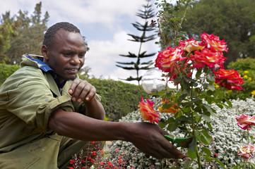 Black gardener, pruning a rose bush.
