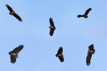 Collection of flying nubian vultures