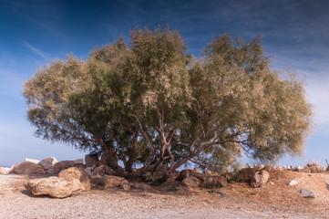 Big tree in Rafina