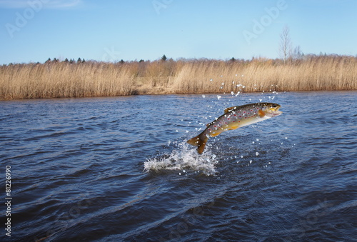 Fototapeta jumping out from water salmon