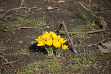Krokus - Frühling