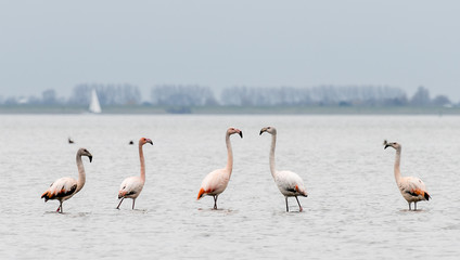 group of flamingos in th wild