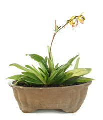 Pot of lady slipper orchids