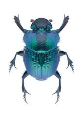 Beetle Phanaeus mexicanus